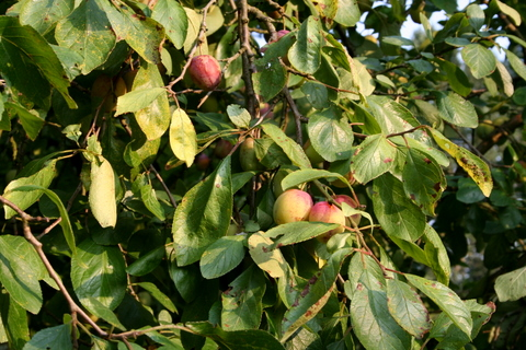 Branch with Plums
